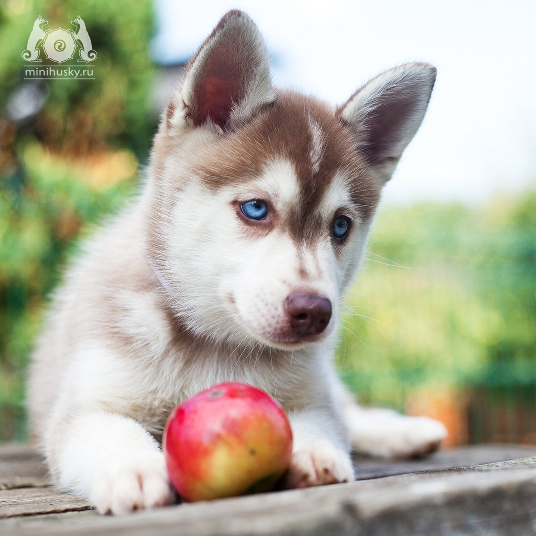 236948469 532235031361186 281201845588561229 n - 15 самых дорогих и редких собак в мире