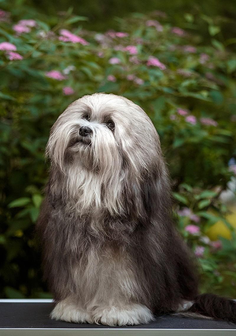 2y8a0050 st - 15 самых дорогих и редких собак в мире