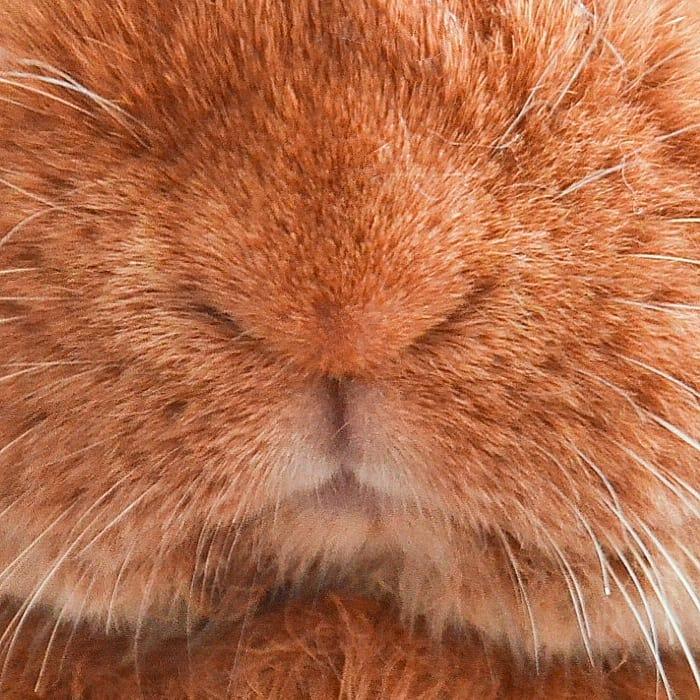 кролик абрикос