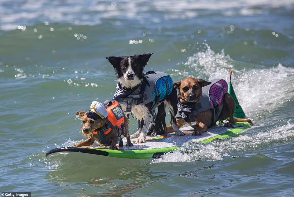 Соревнования по серфингу для собак в Калифорнии