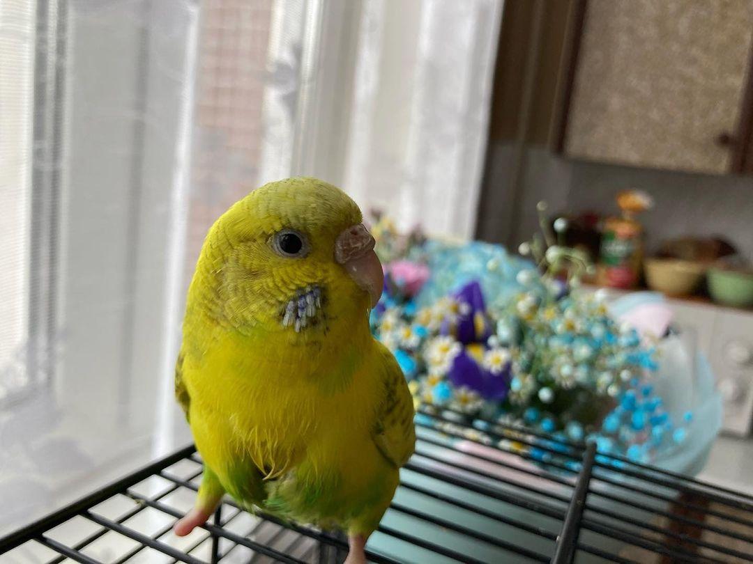 попугайчик бима