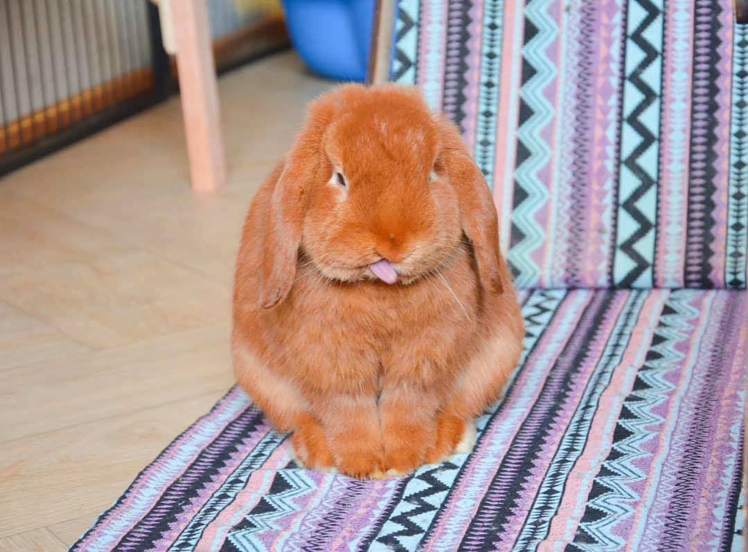 смешной рыжий кролик