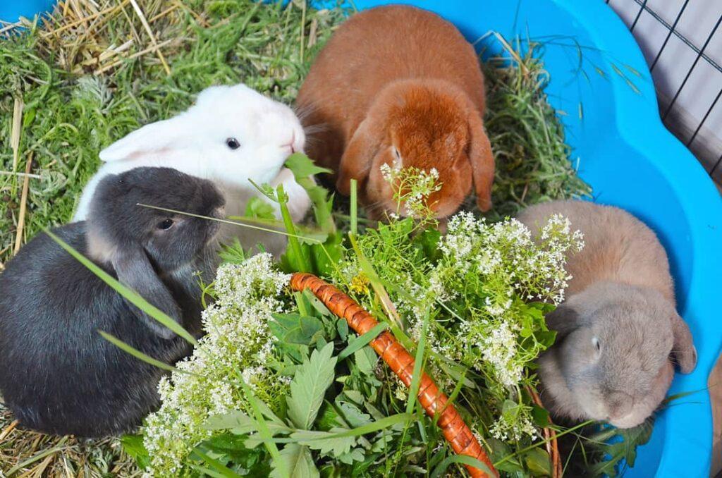 чем нужно кормить декоративных кроликов