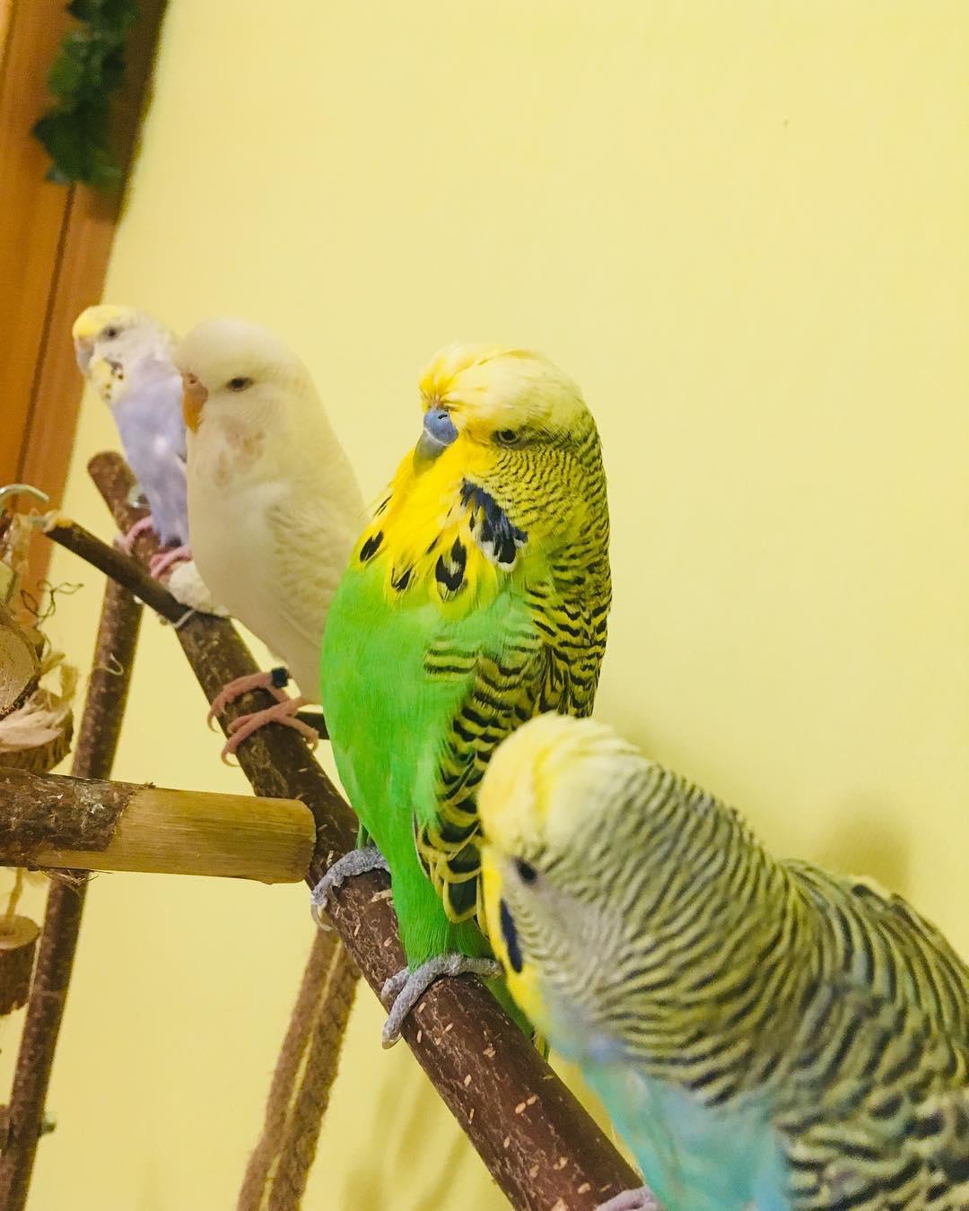 Четыре попугая и собака или реальность владельца птиц