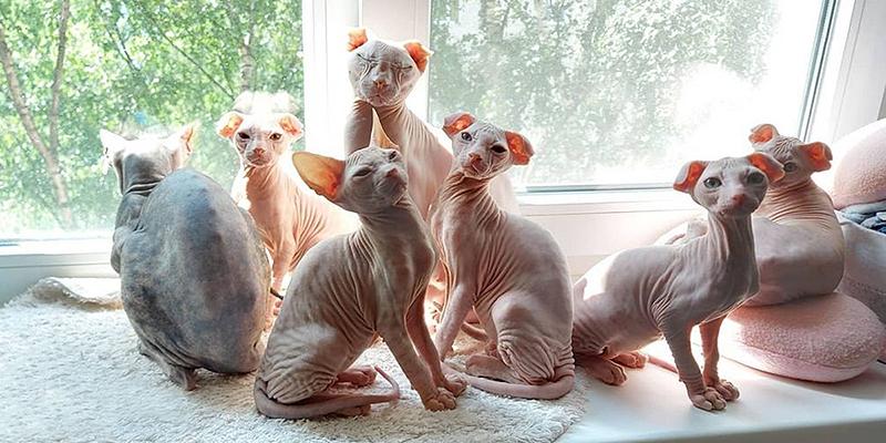Котята и родители породы украинский левкой
