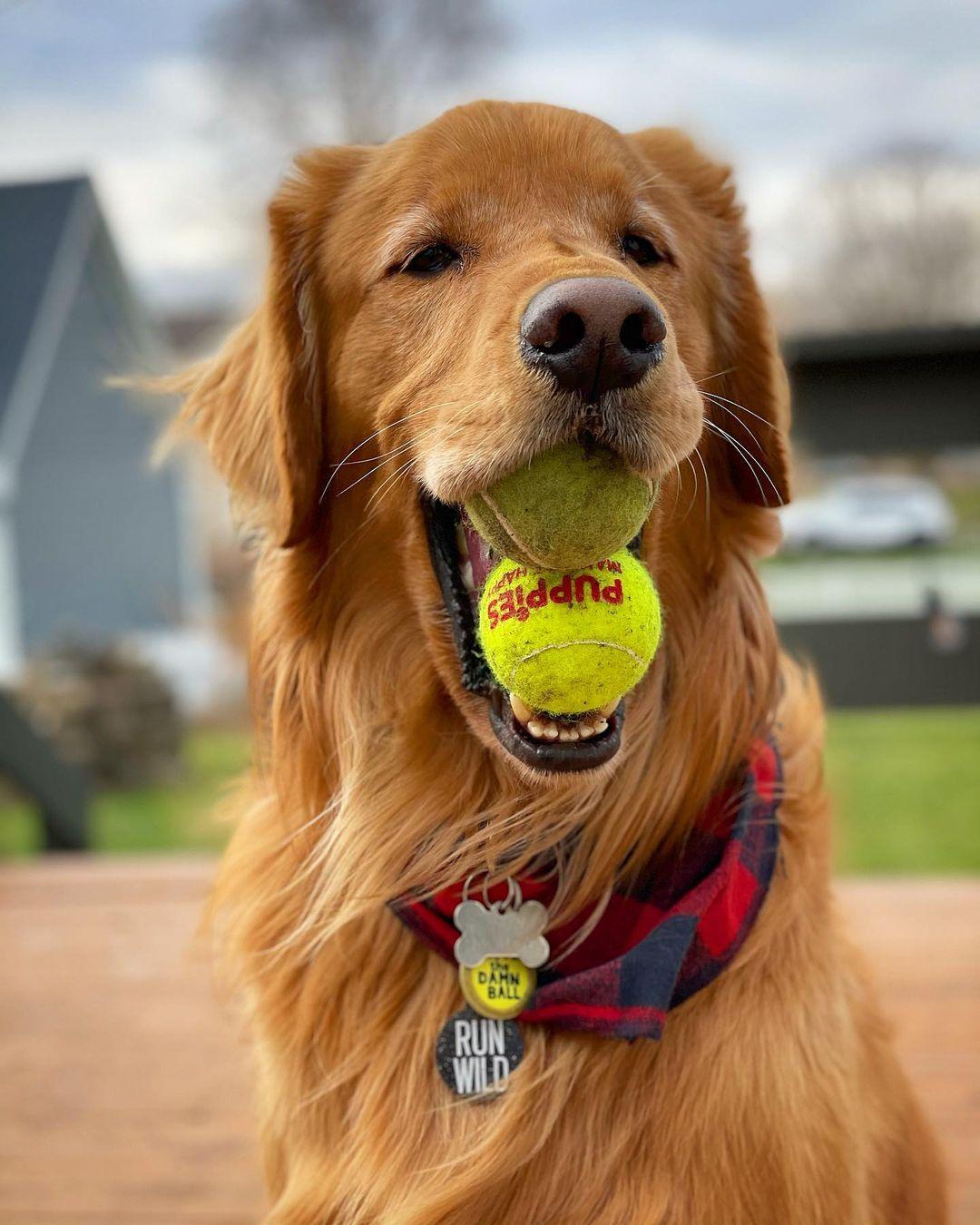 золотистый ретривер и теннисные мячи